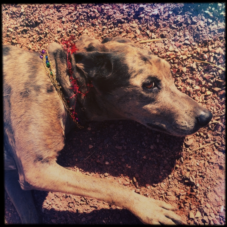 Sweet little girl dog wearing Christmas necklaces rolling in the gravel path.